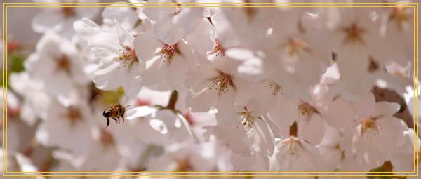 桜の花とみつばち