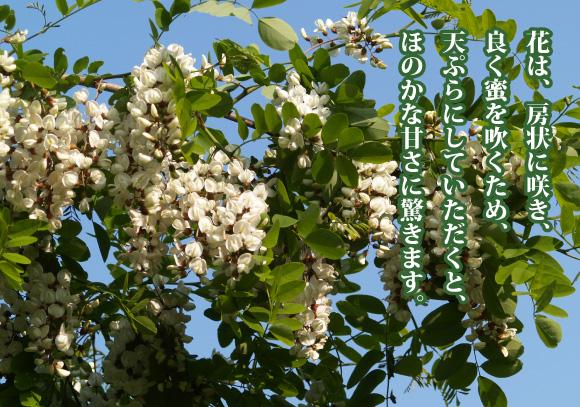 石蔵のアカシア蜂蜜